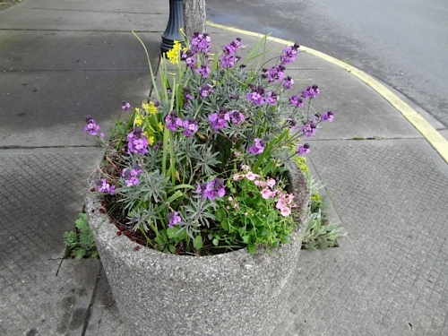 planter at First and Eagle with Erysimum 'Bowles Mauve' and diascia
