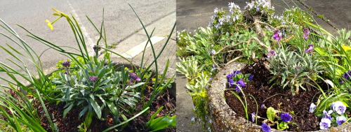 Allan's photos: We put Erysimums in two Ilwaco planters.