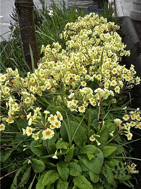 primroses under the tree by the new Thai restaurant