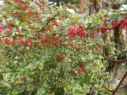 Above it, Ribes speciosum
