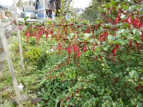 Ribes speciosum has been blooming for weeks.