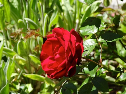 something to admire: My mum's velvet red rose, transplanted from her old garden.