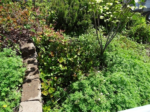 too much salal, and bindweed (not shown) to boot.