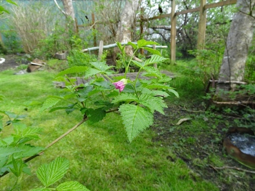 The first salmonberry flowers are out.