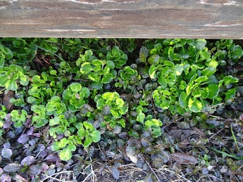 ajuga and variegated saxifrage growing under the parking lot barrier