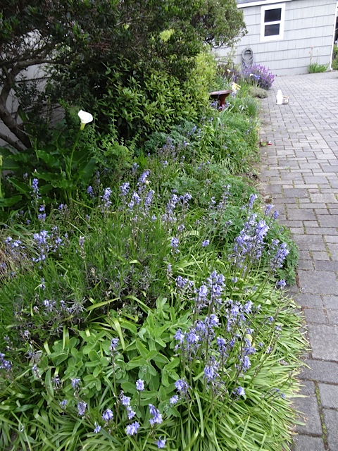 Scilla, which I wish was not in this garden at all.