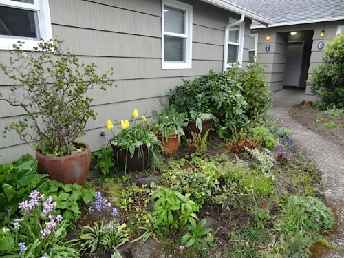 shade garden:  Note to self, prune the rhodo gently back from the siding next time.