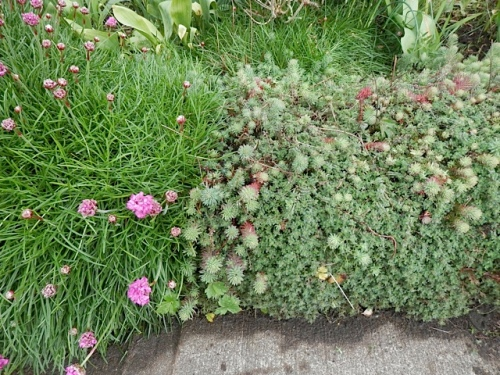 a tapestry on the low wall by the sidewalk: creeping thyme, sedum, armeria (sea thrift)