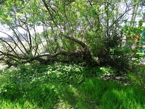 Fortunately, the trunks of the two big willows are on our property, which runs roughly to the middle of the ditch.