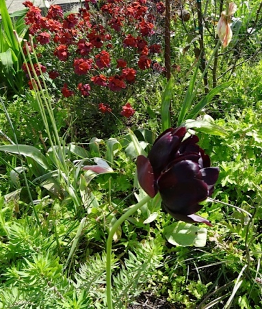 a black tulip by the driveway, maybe 'Black Hero' returning for several years in a row.