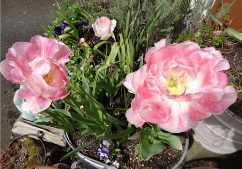 Tulip 'Angelique' in one of her pots