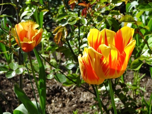 a tulip which has come back in the ground for over five years now