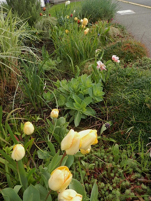 These tulips have returned for several years in a row; I planted no new ones in this area last fall.