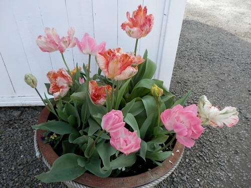 container tulips by the office