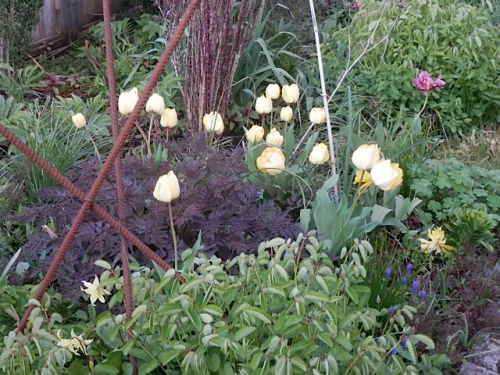 Tulips and Anthriscus 'Ravenswing'