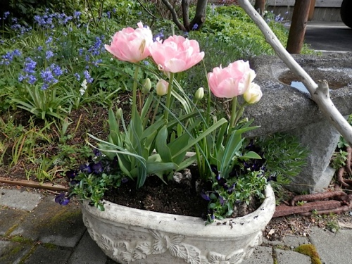 This container with Tulip 'Angelique' got some 'Bowles Black' violas from the Basket Case.