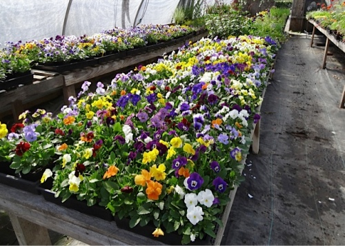 a wealth of violas