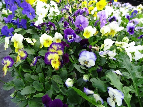 There are still trays and trays of exquisite and economically priced violas left.