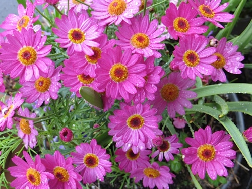 a bright pink agyranthemum for Diane
