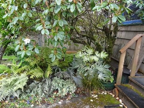Allan's garden agleam in the rain.  (Right: Fatsia 'Spider's Web')
