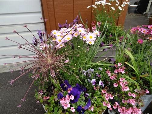 Allium schubertii in Diane's garden