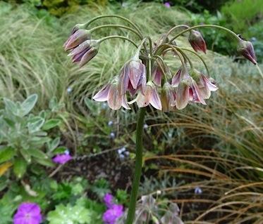 llium bulgaricum (Nectroscordum siculum) in the driveway garden