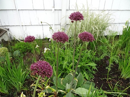 Alliums in the garden shed garden