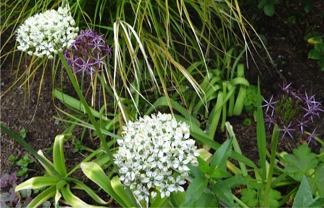 Allium multibulbosum (white) and albopilosum (purple)