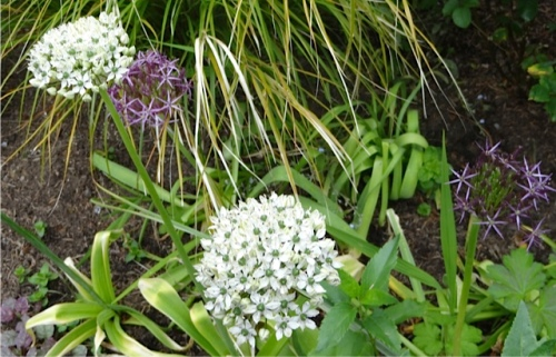 Allium multibulbosum (white) and albopilosum (purple)