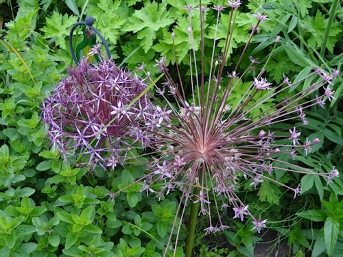 Allium albopilosum and schubertii
