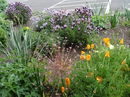 Allium schubertii backed with lavender