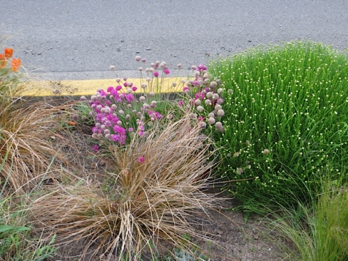 The pink armeria would look perfect if we deadheaded it all.  We did not.