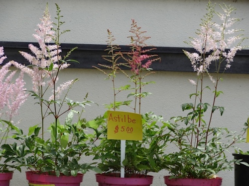 I bought myself a pale pink Astilbe.