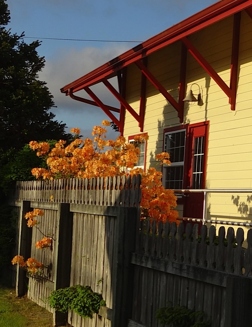 As we prepare to drive off, I notice a bright deciduous azalea behind the Coulter Park historic train depot.