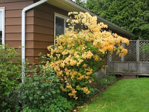 a fragrant apricot coloured azalea against the house