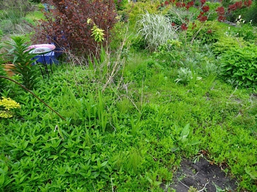 middle of west bed: a sheet of dwarf fireweed