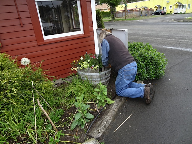Allan planting some bright yellow sanvitalia in the barrel by the east window.