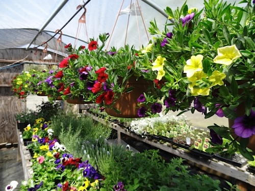 lots of beautiful hanging baskets