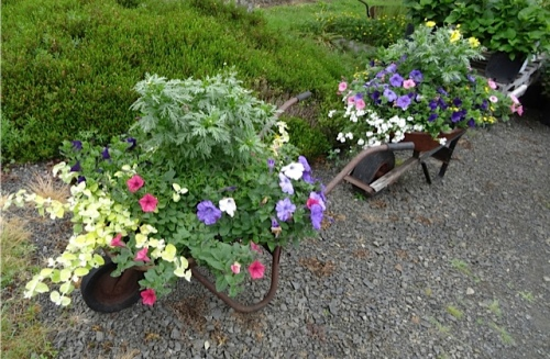 Nancy has planted up these wheelbarrows by the Basket Case carpark.