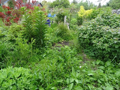 before...with a carpet of fireweed which would love to grow to three feet tall or taller.