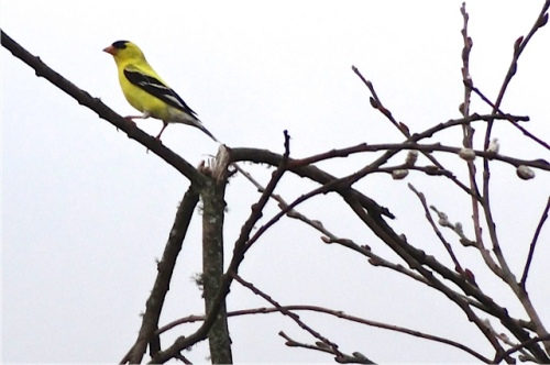 a pretty little goldfinch