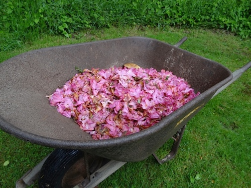 The KBC wheelbarrow was half full with spent blossoms from their Rhododendron 'Cynthia'.