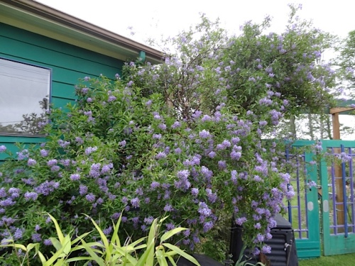 outside the west gate: Solanum crispum 'Glasnevin' as tall as the house.