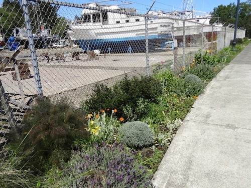 I had one lavender to plant (for balance) in the Ilwaco boatyard.