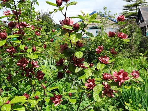Calycanthus flowers