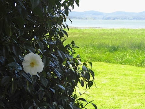 camellia at NE corner of house