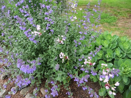 Nepeta and a pale pink allium