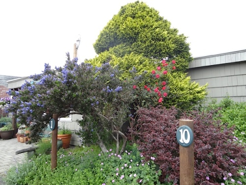 Ceanothus and one of those Canadian Explorer extra hardy roses (I think)
