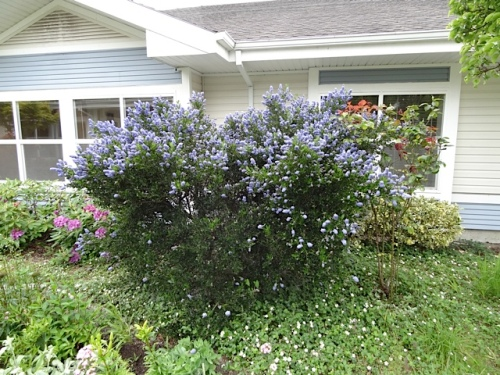 Ceanothus by the SW quadrant