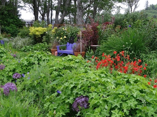 looking southwest across the center bed...with HUGE Geranium 'Rozanne